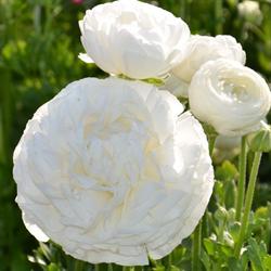 Ranunculus White (10 bulbs per pkg - Ships Oct thru June)