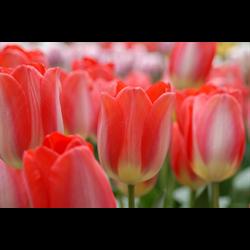 Tulip Darwin Hybrid Big Chief (10 bulbs per pkg - Ships Oct thru Jan)