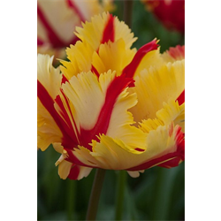 Tulip Parrot Flaming Parrot (10 bulbs per pkg - Ships Oct thru Jan)