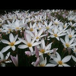Zephyranthes candida (25 bulbs per pkg - Ships March thru June)