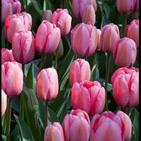 Tulip Darwin Hybrid Pink Impression (10 bulbs per pkg - Ships Oc