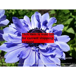 *SOLD OUT* Anemone coronaria double Lord Lieutenant (25 bulbs/pkg - Ships Oct