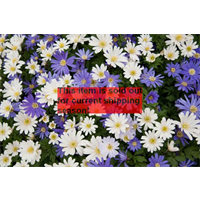 *SOLD OUT* Anemone blanda Mixed (25 bulbs/pkg - Ships Oct thru June)