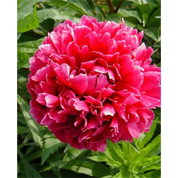Peony bulk Red (½ BU - Ships Oct thru Jan)