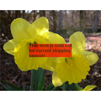 *SOLD OUT* Daffodil Lg. Cup Gigantic Star