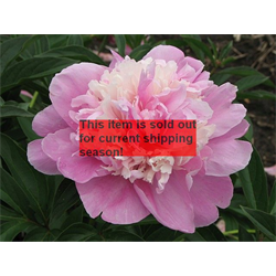 *SOLD OUT*  Peony Sorbet (3 bulbs per pkg - Ships Oct thru Jan)