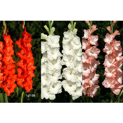 Gladiolus Collection (75 bulbs per collection - Ships March thru Jun