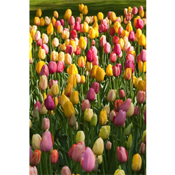 Tulip Single Late Mixture (10 bulbs per pkg - Ships Oct thru Jan)