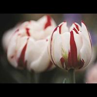 Tulip Double Carnaval de Nice (10 bulbs per pkg - Ships Oct thru Jan)