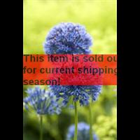 *SOLD OUT* Allium azureum (25 bulbs / pkg - ships Oct thru Jan)