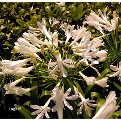 Agapanthus Alba  (3 plants/pkg - Ships March thru June)