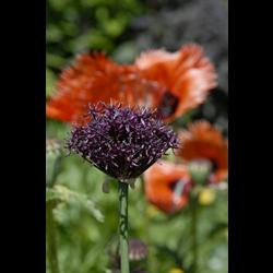 Allium atropurpureum (10 bulbs per pkg - ships Oct thru Jan)
