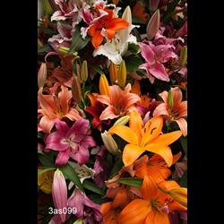 Lily Asiatic Mixed (5 bulbs per pkg - Ships Oct thru June)
