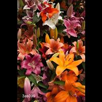 Lily bulk Asiatic Mixed (½ BU - Ships Oct thru June)