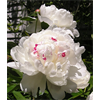 Additional images for Peony Clump Box Set (Ships Oct thru Jan)