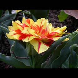 Tulip Double Monsella (10 bulbs per pkg - Ships Oct thru Jan)