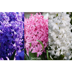 Hyacinth Collection (30 bulbs per collection - Ships Oct thru Jan)