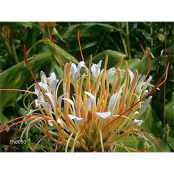 Hedychium ellipticum (3 bulbs per pkg - Ships March thru June)