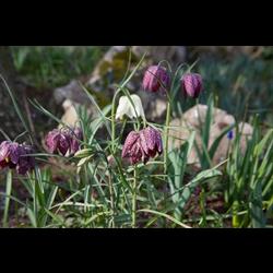 Fritillaria meleagris (10 bulbs per pkg - Ships Oct thru Jan)