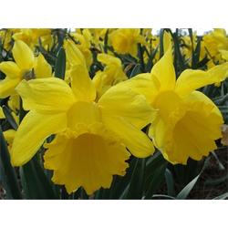 Daffodil Trumpet Counsellor (10 bulbs per pkg - Ships Oct thru Jan)