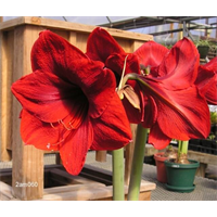 Amaryllis Jumbo Potted Kit - Red Lion (ships Nov thru Jan)