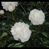 Peony Shirley Temple (3 bulbs per pkg - Ships Oct thru Jan)