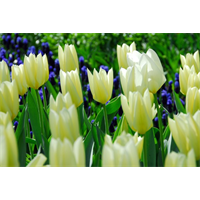 Tulip Lily Flowered White Triumphator (10 bulbs per pkg - Ships Oct