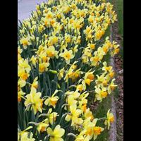 Daffodil Lg. Cup Fortissimo (10 bulbs per pkg - Ships Oct thru Jan)