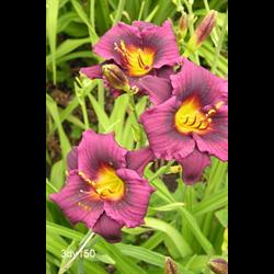 Daylily Grape Magic (5 plants per pkg - Ships Oct thru June)