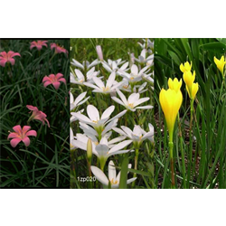Zephyranthes Collection (75 bulbs per Collection - Ships March thru