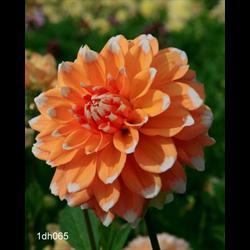 Dahlia Peaches and Cream (3 plants per pkg - Ships March thru June)