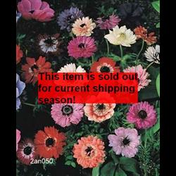 *SOLD OUT* Anemone coronaria St. Brigid Mixture (25 bulbs/pkg - Ships Oct