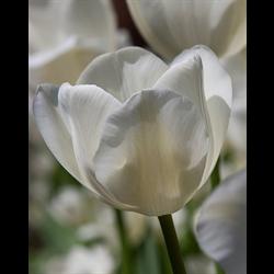 Tulip Triumph Wildhof (10 bulbs per pkg - Ships Oct thru Jan)
