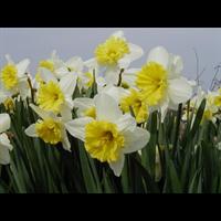 Daffodil Lg. Cup Ice Follies (10 bulbs per pkg - Ships Oct thru Jan)