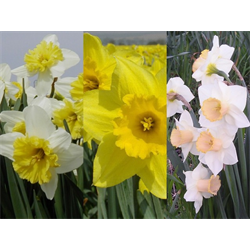 Daffodil Large Cup Collection (60 bulbs per collection - Ships Oct