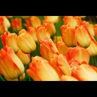 Tulip Darwin Hybrid Daydream (10 bulbs per pkg - Ships Oct thru Jan)