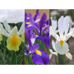 Dutch Iris Collection (90 bulbs per collection - Ships Oct thru Jan)