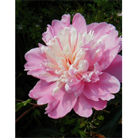 Peony Edulis Superba (3 Plants per pkg - Ships Oct thru Jan)
