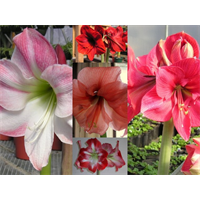 Amaryllis Collection (5 bulbs per collection - ships Oct thru Jan)