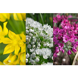 Allium Collection Low Growing (150 bulbs per collection - ships