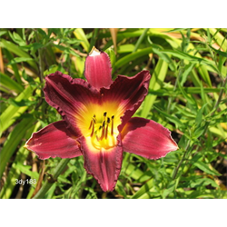 Daylily Strutter's Ball (5 plants per pkg - Ships Oct thru June)