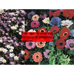 *SOLD OUT* Anemone coronaria Collection (75 bulbs/collection - Ships Oct t