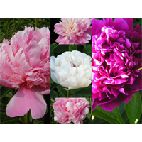 Peony Collection (5 Plants per collection - Ships Oct thru Jan)
