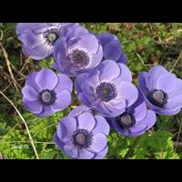 Anemone coronaria Blue Poppy (25 bulbs/pkg - Ships Oct thru June)