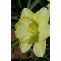 Daffodil Lg. Cup St Patrick's Day (10 bulbs per pkg - Ships Oct thru
