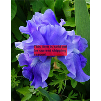 *SOLD OUT* Bearded Iris Blue (5 plants per pkg - Ships Oct thru Jan)