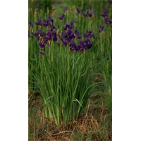 Iris sibirica clump Caesar's Brother (Ships Oct thru June)