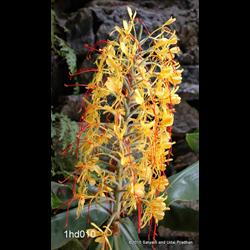 Hedychium gardnerianum (3 bulbs per pkg - Ships March thru June)