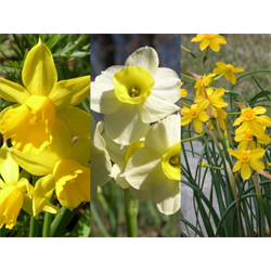 Daffodil Miniature Collection (60 bulbs per collection - Ships Oct thru Jan)