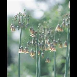 Allium bulgaricum (25 bulbs per pkg - ships Oct thru Jan)